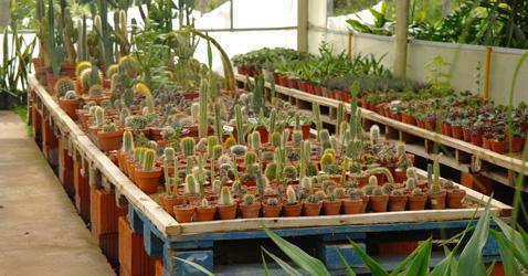 Vivero de cactus y exoticas en ober for Vivero de plantas exoticas