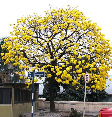 Im genes de arboles ornamentales en san miguel de tucum n for Imagenes de arboles ornamentales